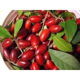 Kit 2 Mudas Goji Berry E 1 Muda Fruta Do Milagre Oferta