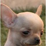 Chihuahua Bolsillo Pedigree Internacional