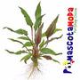 Criptocorina O Cryptocoryne Planta Natural Para Acuarios