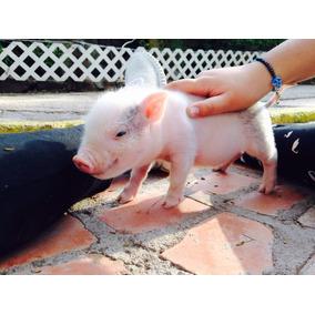 Minipigs Rositas Con Manchita Machos Y Hembras Mini Pigs