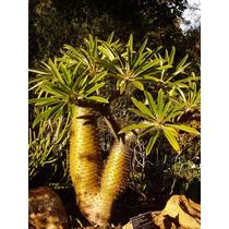 Semillas De Palmera De Madagascar