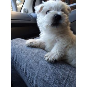 Servicio De Cruza De West Highland White Terrier - Westy