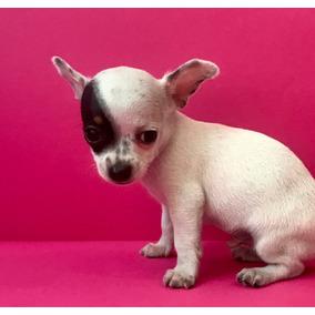 Chihuahua Macho Vacunas Cartilla Kit