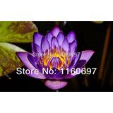 Semillas Flor De Loto Púrpura