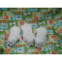 West H. W. Terrier - Lindos Filhotes C/ Pedigree Cbkc