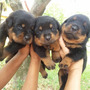 Filhote De Rottweiler - Seropedica Rj