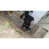 Cruza De Chihuahua Cabeza De Manzana Con Cabeza De Venado