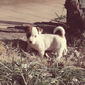 Cachorros Jackrussell Disponibles