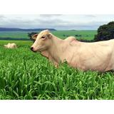 Semillas Pasto Brachiaria Brizantha X Ruziziensi Cv. Mavuno