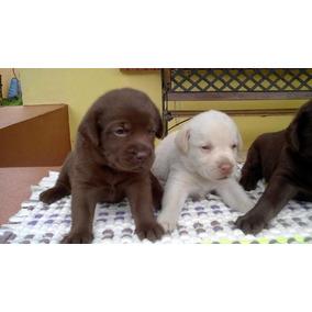 Cachorros Labrador Retriever, Ultmios 4!
