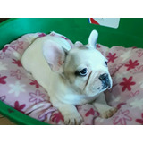 Machito Bulldog Frances