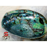 Concha Natural Abalone Importada