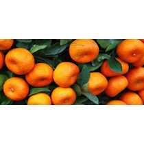 Frutales: Mandarina Monica Fruta Grande De Injerto