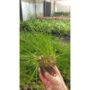 Albuca Namaquensis Planta Coleccion Con Bulbo