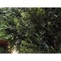Ornamental De Árbol Bonsai Artificial Cedro 9 En Maceta Al