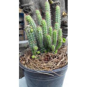 Rodajas De Tronco Cactus Seco Para Decoracion En Estado De Mexico En - Cactus-seco