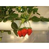 Kit Morango Hidroponia Sementes Peletizadas Espuma Nutriente