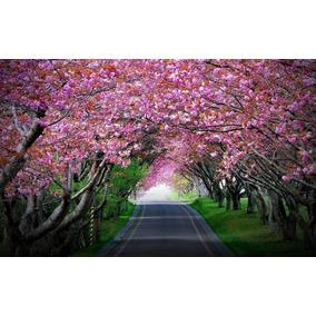 Cerezo Japonés Sakura 5 Semillas Planta De Sol Sdqro