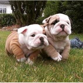 Bulldog filhotinho