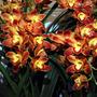 Orquídea Cymbidiu Wallacia