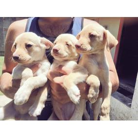 Filhotes Labrador Mestiço