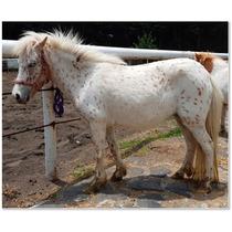 Yegua Miniatura Appaloosa - Caballito Mini Pony
