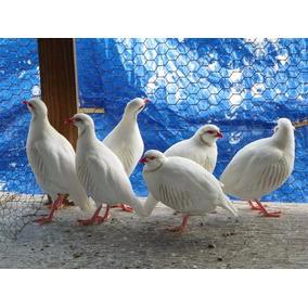 Ovos De Perdiz Chukar Branca   Reserva Setembro