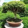 Curso Completo - Aprenda A Cultivar Bonsai-envio Imediato