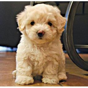 Cachorros French Poodle Aptos Para Cpr