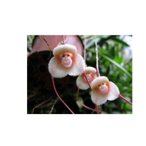 Semillas Orquidea Cara De Mono Simia Dracula Lote 100