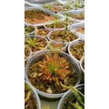 Venta De Plantas Carnivoras Genero Drosera