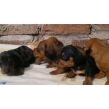 Preciosos Cachorros Salchichas Calidad A-1, Padres Imporados