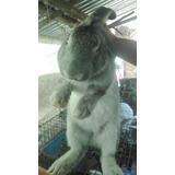 Conejos Pie De Cría Y Carne