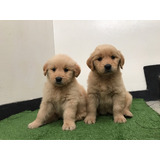 Golden Retriever - La Granja Cachorros