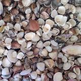 Conchas Brasileiras 2-5cm Saco 500g P/ Decoração Artesanato