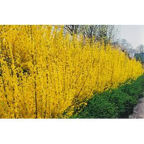 Sino Dourado Forsythia Cerca Viva Flor Sementes Para Mudas