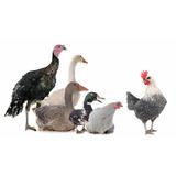 Manual Aprende Cría Aves Pavo Gallina Patos Pollos Codorniz