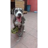 Perro Bull Terrier Pitbull Blue