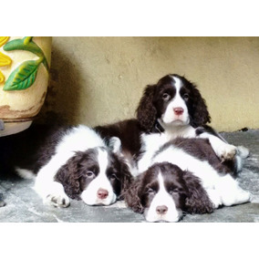 Springer Spaniel Ingles Cachorros