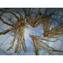 Garras - Arañas De Esparragos Verdes (5 Garras)