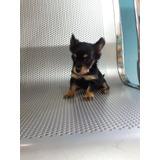 Cachorro Chihuahua Mariposa No.1