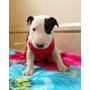 Bull Terrier Miniatura - Filhotes - Filhos De Campeões