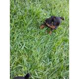 Cachorros Miniaturas Doberman Pincher