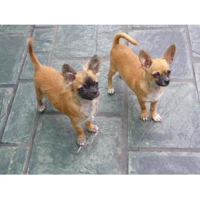 Machos Chihuahuas Adultos De 8 Meses A Año Y Medio, Ped.fca