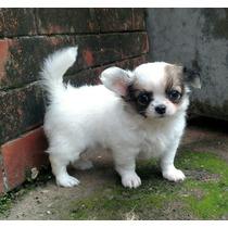 Chihuahua Fêmea Pelo Longo.