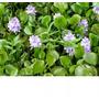 Plantas Aquáticas Flutuantes - Aguapé (12 Mudas) + Brinde