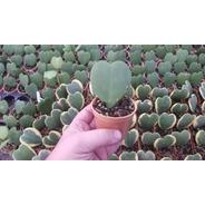 Hoya Kerri Verde Planta Corazon Maceta 7 Novedad Exclusiva