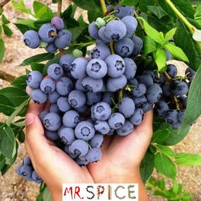 Blueberry Mirtilo 60 Sementes Para Mudas P/ Vaso E Jardim