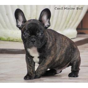Bulldog Frances Macho Tigrado Com Gen Blue!!! Pedigree Cbk