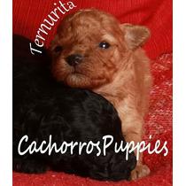 Cachorros Caniche Míni Micro Toy Machos Y Hembras Listos Par